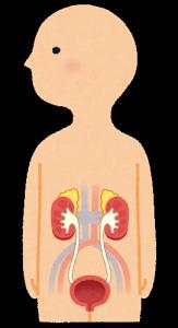 腎臓と膀胱